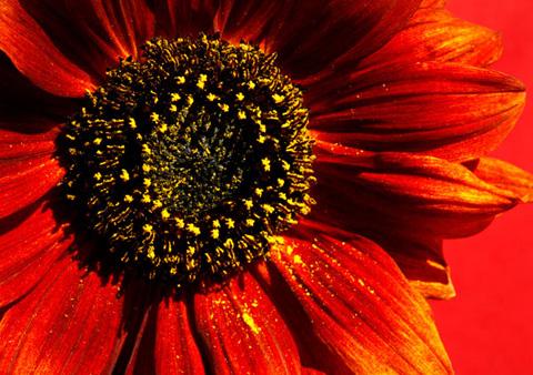 Amber Sunflower