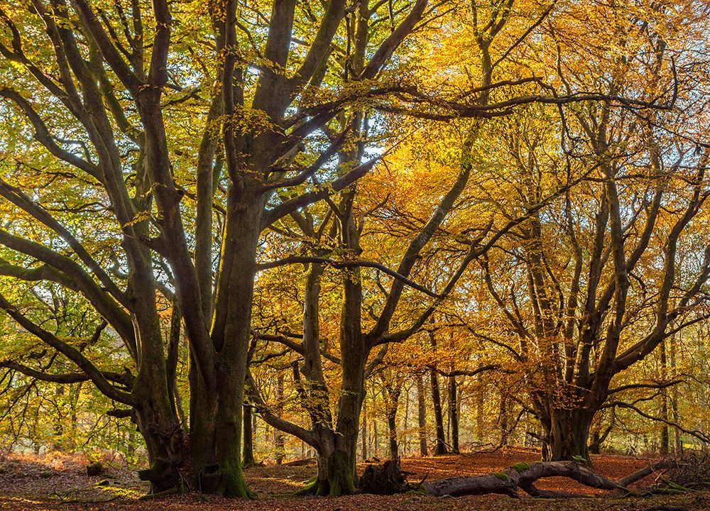 Autumn Beech Trees Carstroman Wood