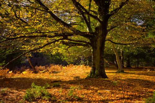 Autumn Beechtree
