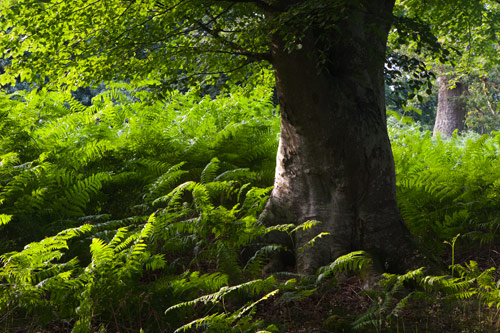 Beech Tree and Bracken
