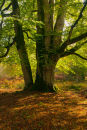 Beech Trunk in sunlight