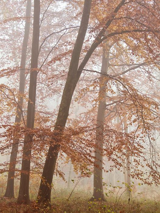 Beech Wood Mist