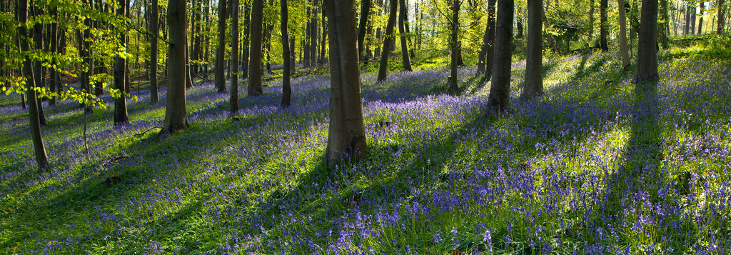 Bluebell-Woods