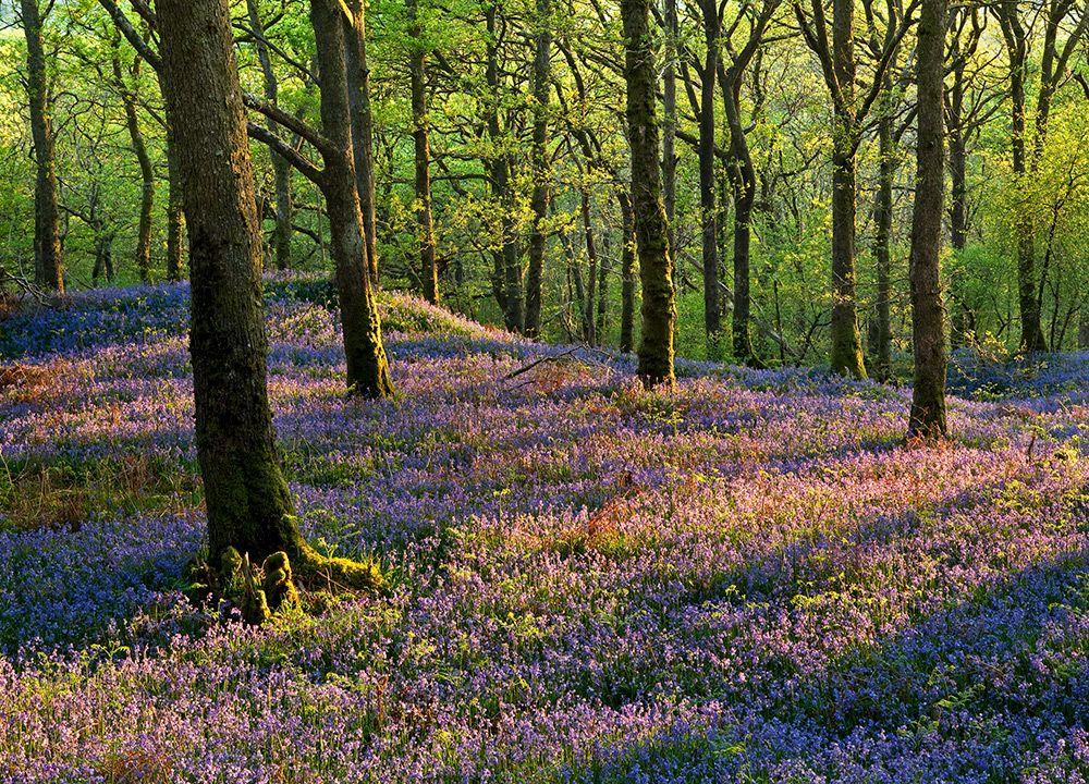 Bluebells Carstramon Wood