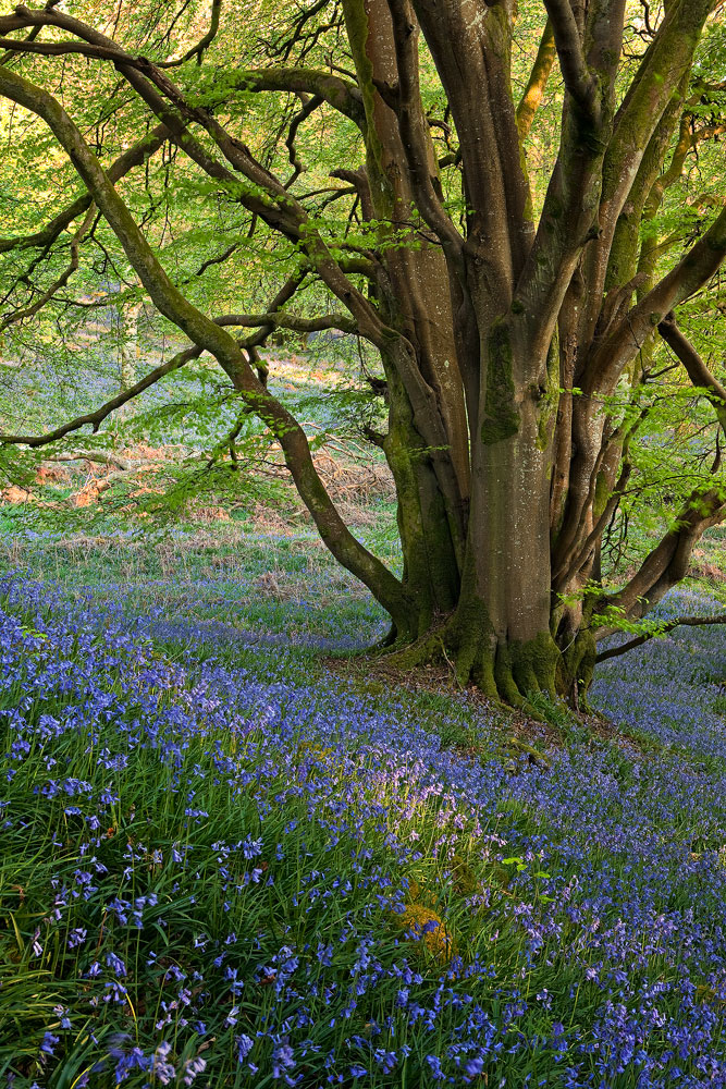 Bluebells and Beechtree Carstramon Wood