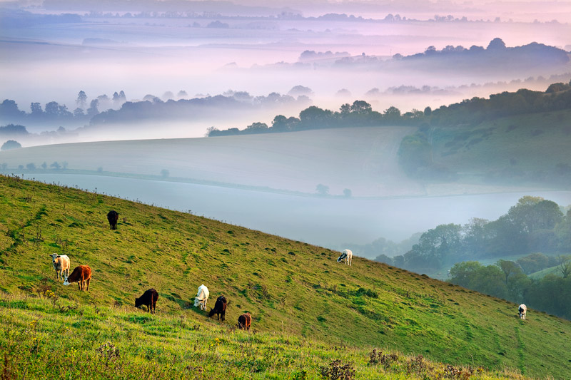 Cattle and Mist