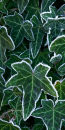 Frosted Ivy