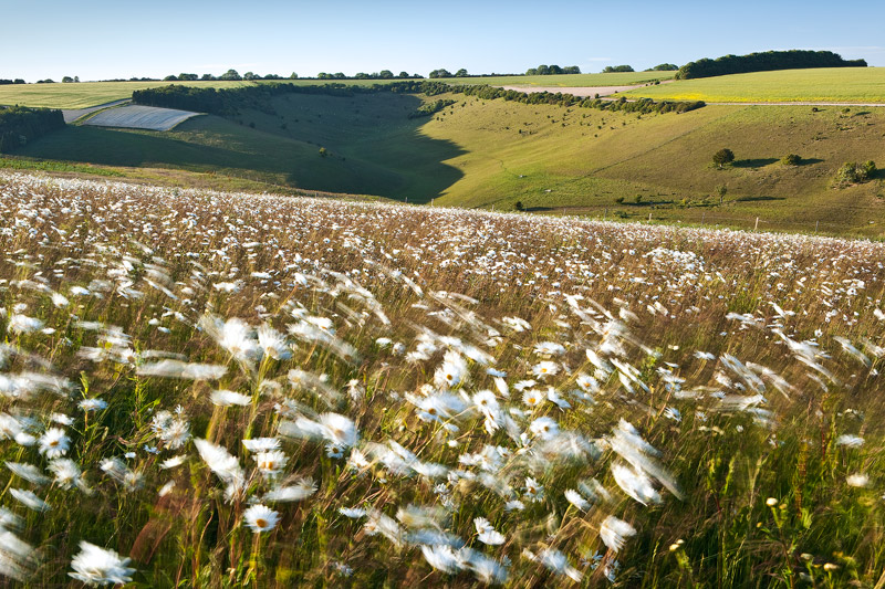 Ox-eye Daisies on Gurston Down