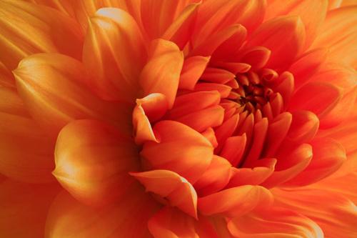 Orange Dhalia