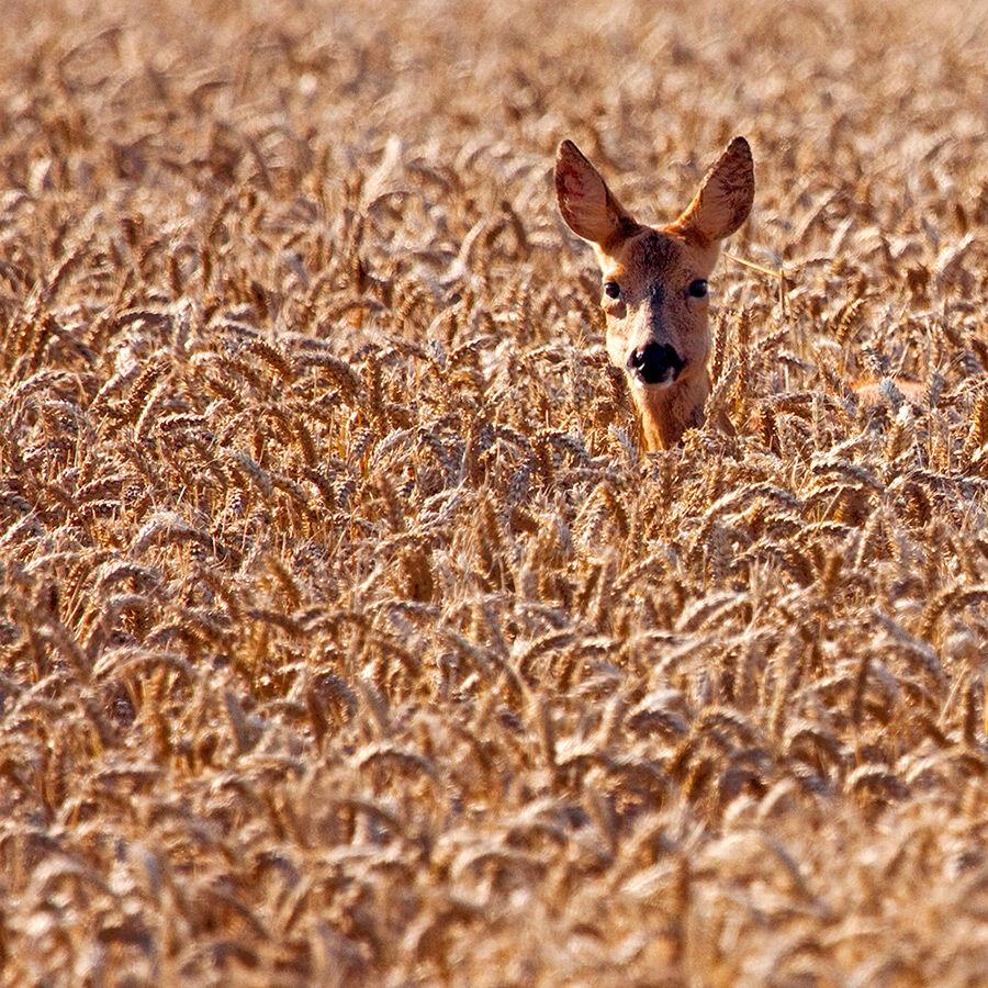 Roedeer in a Cornfield