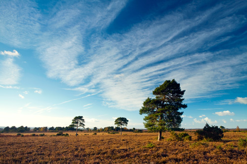 Scots Pine Red Shoot Plain