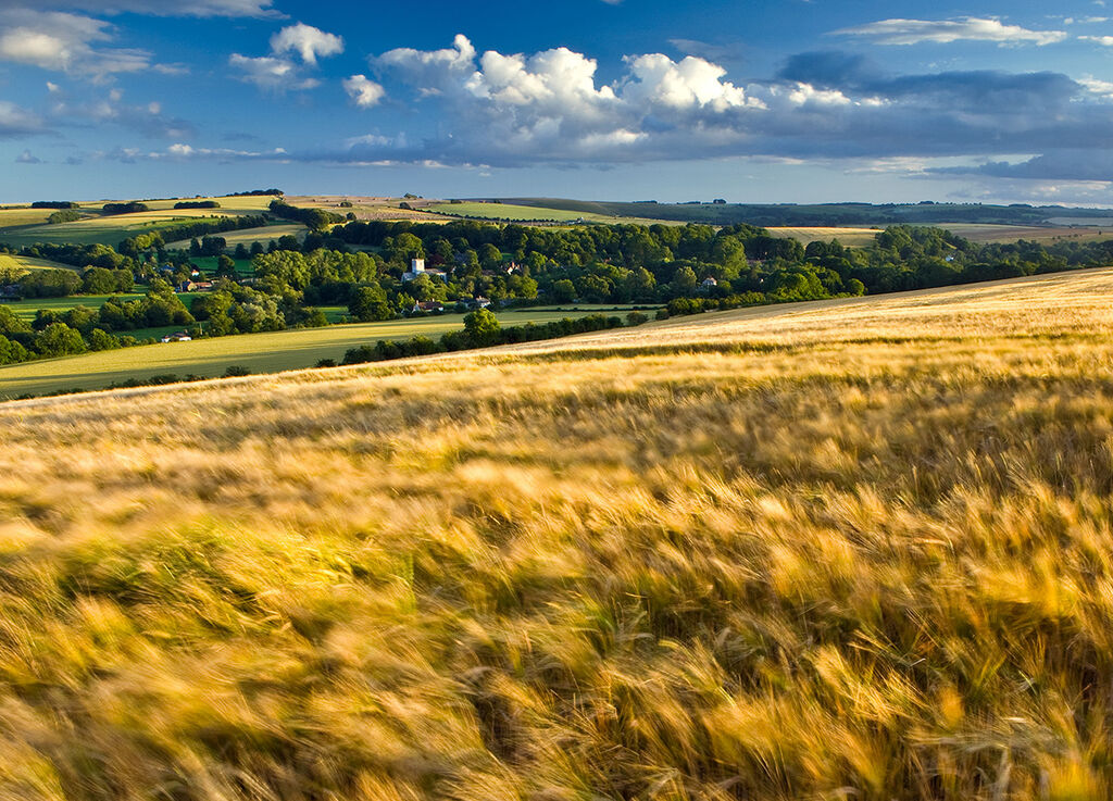 Summer Barley Broad Chalke