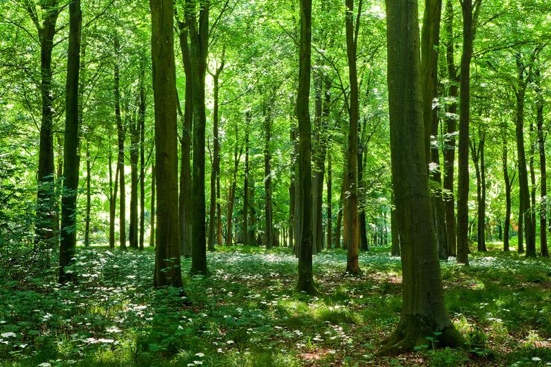 Summer Woodland