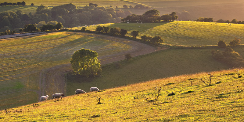 Sunlight Sheep and Downland
