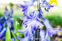Bluebell Spring