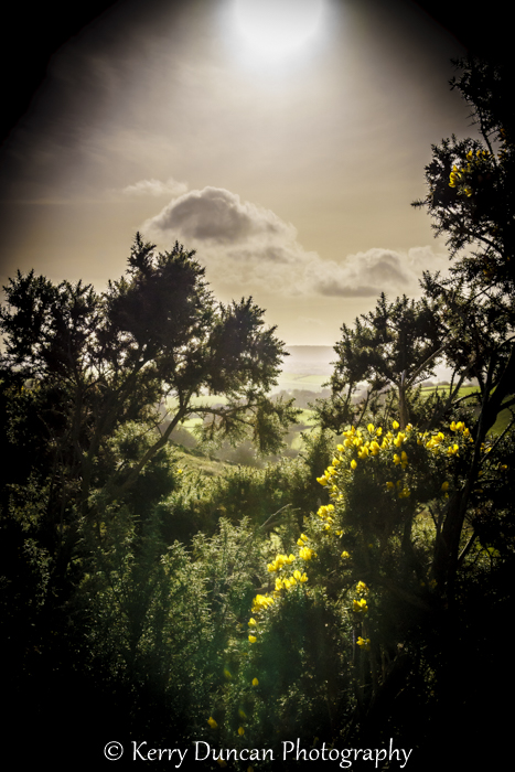 Spot Light On Gorse
