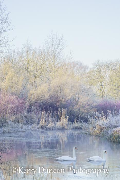 Ice Swans