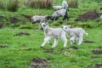 Lambs On The run