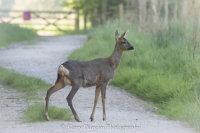 Roe Deer In The Lane