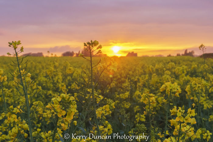 Sunset Over The Yellow Field