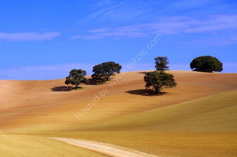 Montefrio olive trees