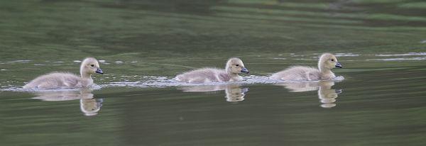 goslings on the lake