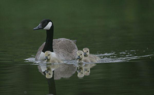 canada goose and famliy