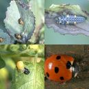 ladybird life cycle