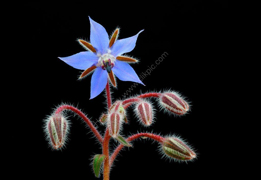 Borage Flower and  Buds