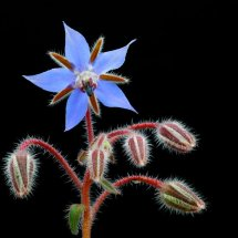 Borage Flower and  Buds