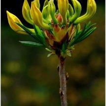 Yellow Azalea  buds