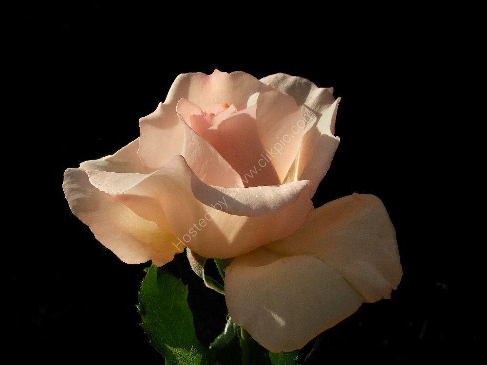fuji rose