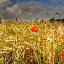 poppies&wheat