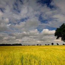 tree & corn field copy