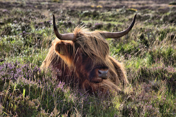 Highland Cattle 2 p0013