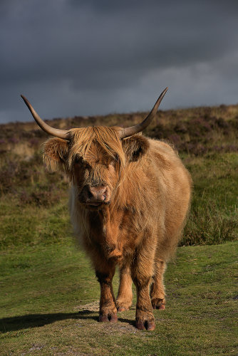 Highland Cattle 5 p0016