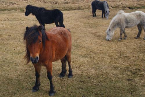 Moorland pony`s
