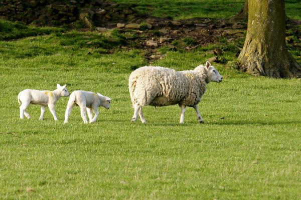 Sheep and Lambs 1