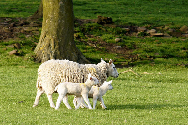 Sheep and Lambs 2