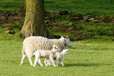 Sheep and Lambs 2