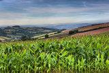 Corn p0017