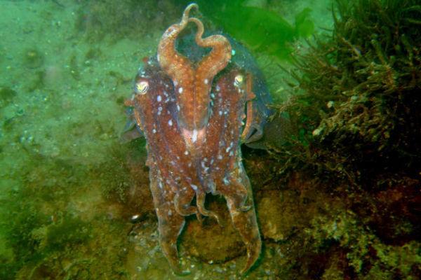 Cuttle Fish 1