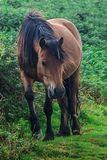 Brown Dartmoor Pony