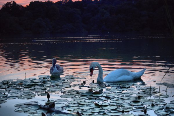 Swan and Cygnet 2