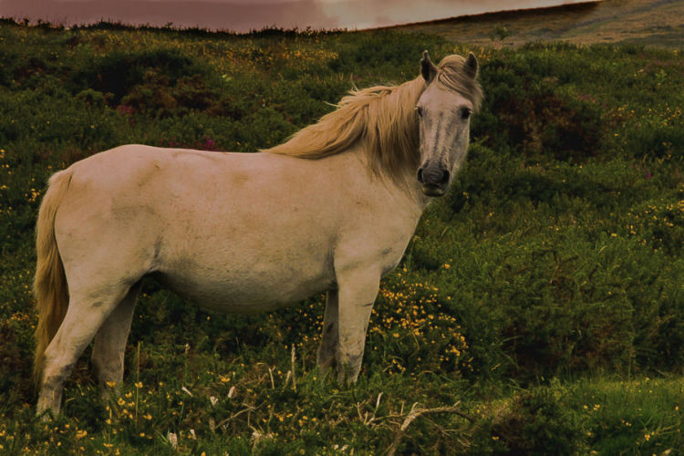 White Dartmoor Pony
