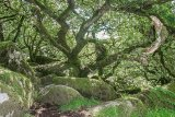 Wistmans Wood 1