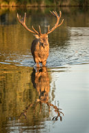 Stag reflection