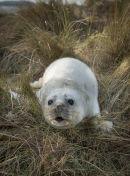 Seal-Pup3