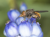 Fly Collecting Pollen on Blue Hyacinth