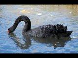 2 Swan Drinking